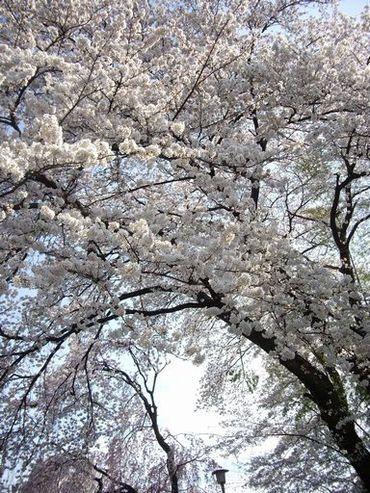 Sakura3
